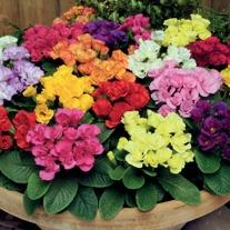 Primrose Primlet Mixed F1 Flower Plants
