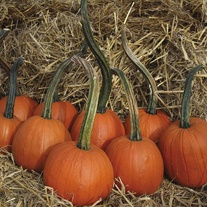 Pumpkin Jack in the Box Seeds