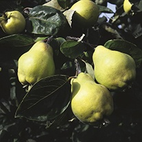Quince Vranga fruit tree