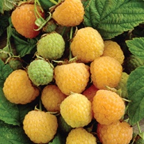 Raspberry All Gold AGM Fruit Canes (Yellow Fruit)