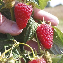 Raspberry Autumn Treasure Fruit Canes (Primocane)