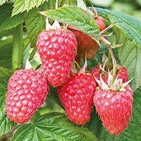 Raspberry Malling Juno Fruit Plants (Floricane)