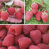 Long Cropping Raspberry Fruit Canes Collection