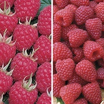 Glen Ample and Polka Raspberry Collection