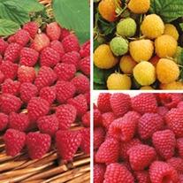 Autumn Planting Raspberry Collection