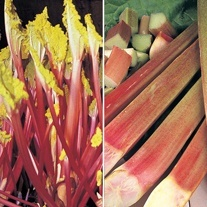 Rhubarb Crown Collection-Autumn delivery