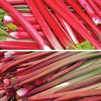 Long Cropping Rhubarb Crown Collection
