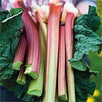 Rhubarb Poulton's Pride Plants