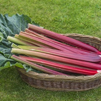 Rhubarb Poulton\'s Red Plants