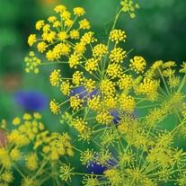 Ridolfia (segetum) Flower Plants