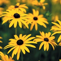 Rudbeckia Goldsturm AGM Potted Flower Plants