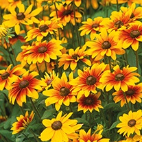 Rudbeckia Toto Mixed F1 Plug Plants
