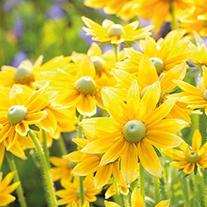 Rudbeckia Prarie Sun plants