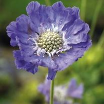 Scabious caucasia Perfecta Blue Potted Flower Plant