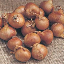 Shallot Golden Gourmet AGM Bulbs
