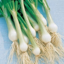 White Lisbon AGM Spring Onion Plants