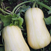 Squash (Winter) Harrier F1 AGM Seeds