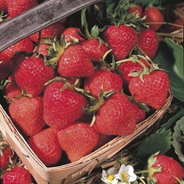 Strawberry Cambridge Favourite AGM A+ Grade Fruit Plants