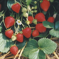 Strawberry Runners Everbearers Flamenco