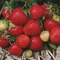 Elegance A+ Grade Strawberry Plants (Mid Season)