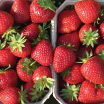 Strawberry Malwina A+ Grade Fruit Plants (Late Season)
