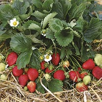 Strawberry Buddy Fruit Plants (Everbearer)