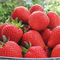 Supersonic Strawberrry Sweetheart Fruit Plants