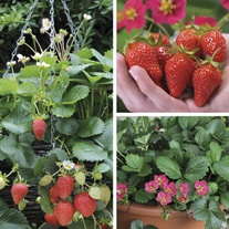 Hanging Basket Strawberry Fruit Plant Collection