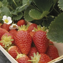 Strawberry Mariguette Fruit Plants (Everbearer)