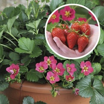 Strawberry Toscana F1 Fruit Plants