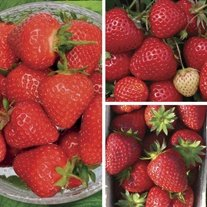 Long Cropping Strawberry A+ Grade Fruit Plant Collection