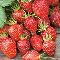 Strawberry Gariguette Fruit Plants (Early Season)