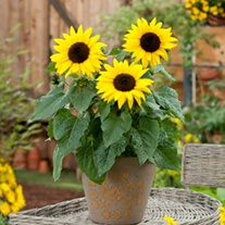 Sunflower Sunbuzz F1 Plug Plants