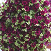 Surfinia Petunia Burgundy Flower Plants
