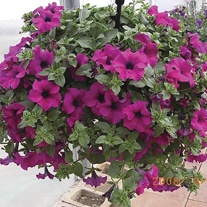 Surfinia Petunia Purple Flower Plants