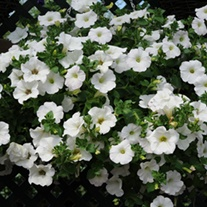 Surfinia Petunia Snow plants
