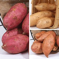 Sweet Potato Young Plants Collection