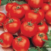 Tomato Sparta F1 (Medium) Veg Plants