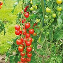 Tomato Supersweet F1 (Cherry) Grafted Veg Plants