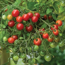 Tomato Losetto Plants (Cherry)