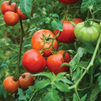 Tomato Big Daddy F1 (Beefsteak) Veg Plants