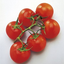Tomato Vanessa (Medium) Grafted Plants