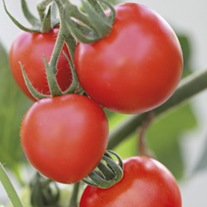 Tomato Mountain Magic F1 (Medium) Veg Plants
