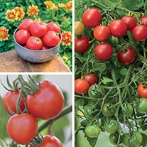 Disease Resistant Tomato Plant Collection