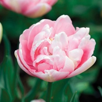 Tulip Angelique Flower Bulbs
