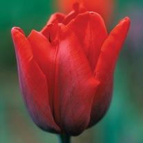 Tulip Coleur Cardinal Flower Bulbs