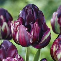 Tulip Black Hero Flower Bulbs