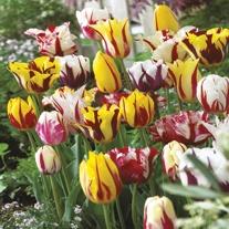 Tulip Rembrandt  Flower Bulb Mix