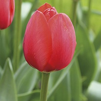 Tulip World's Fire Flower Bulbs