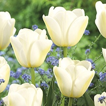 Tulip Angel's Wish Bulbs